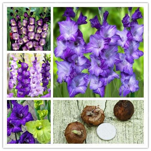 2 BulbsTrue Purple Gladiolus Bulbs Beautiful Gladiolus Flower Flower Symbolizes Longevity,Plant Garden
