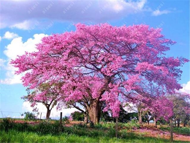 100 قطعة/بونساي الصيني المعطر في الهواء الطلق الملكي الإمبراطورة فلور شجرة النباتات الرئيسية حديقة أصائص زرع ل زهرة وعاء المزارعون