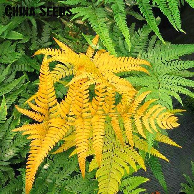 100pcs Japanese Rare Creeper Boston Fern bonsai Vines Grass Foliage Plants Ornamental Plant Bonsais Garden Decoration