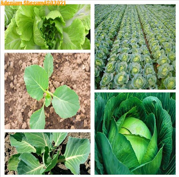 300 Pcs Giant Russian Cabbage Bonsai Organic Healthy Vegetable Plant High Germination Quality Vegetable Home Garden Planting