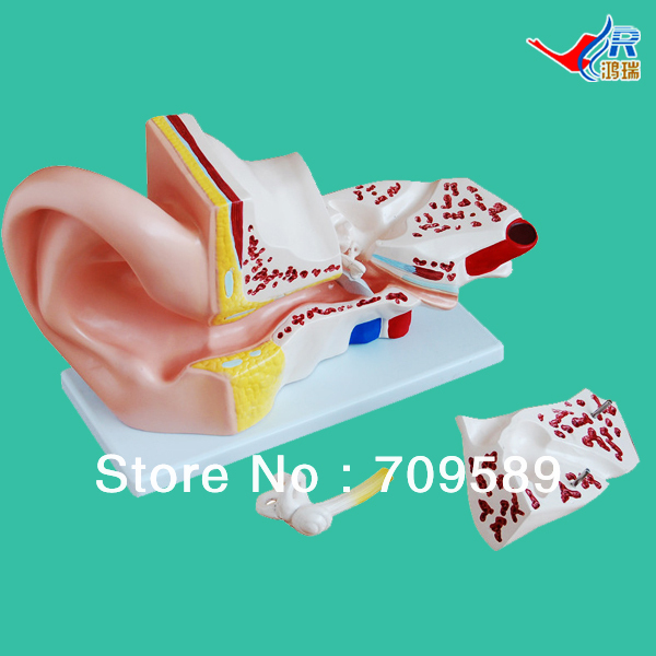 ISO Big Ear Model, Anatomical Ear Model iso median section of head model anatomical head model