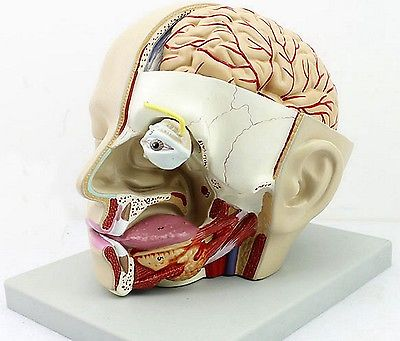 Modèle complet médical de cerveau de crâne de tête d'anatomie anatomique humaine