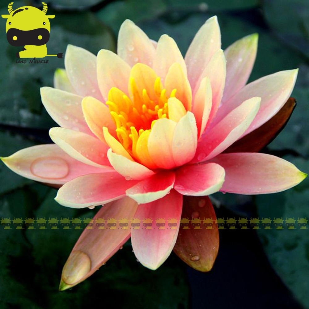 Bright Pink Yellow Lotus Flower Seeds 1 Seedpack Perennial Plants