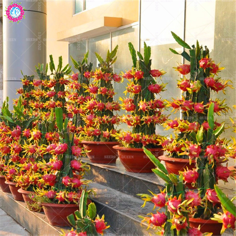 Growing Dragon Fruit Tree: 100pcs Dragon Fruit Seeds Dwarf Fruit Trees Bonsai
