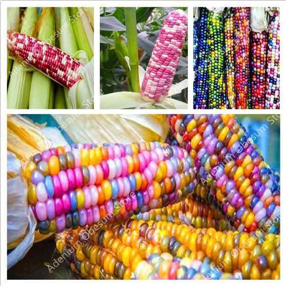 2019 big promotion! 100pcs rare rainbow corn genetically modified vegetable edible home garden garden planting free shipping