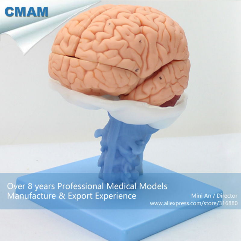 12403 CMAM BRAIN06 Advanced Medical Education Brain Anatomical Model ...