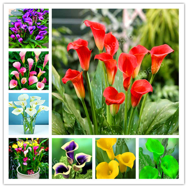 200 Pcs Calla Lily Bonsai Room Flowers Zantedeschia Aethiopica Outdoor & Indoor Houseplants Home Garden Pot Plant Wedding Decor
