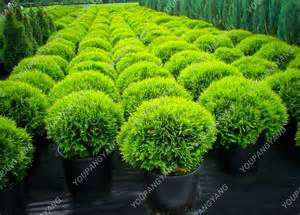 100pcs Blue Cypress Trees plants Rare Platycladus Orientalis Oriental Arborvitae plants Conifer plants DIY Home Garden - 3326-0a2c33.jpg