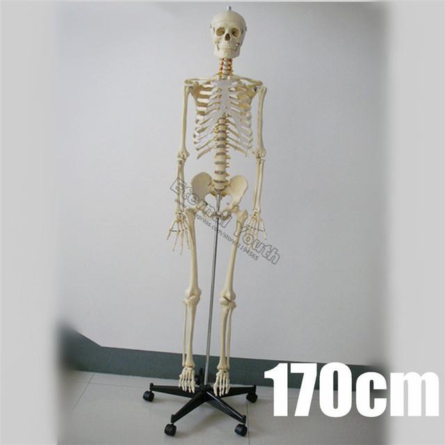 170 cm Esqueleto Humano em Tamanho Natural Modelo Anatômico Anatomia Médica PVC de Corpo Inteiro