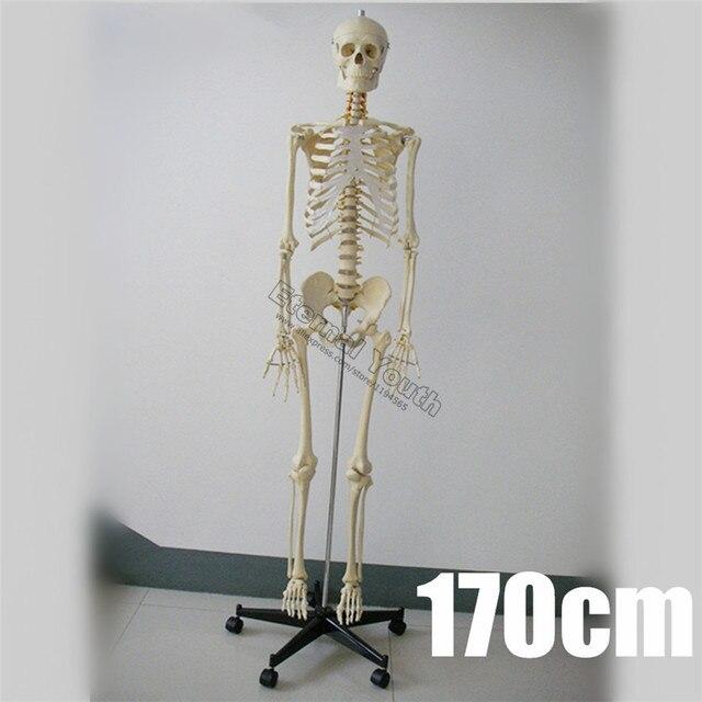 170 cm esqueleto humano tamaño natural modelo anatómico Médicos ...