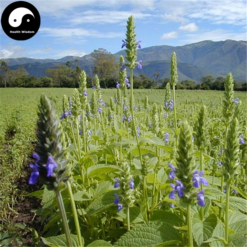 Buy Chia Semente 400pcs Plant Chinese Salvia Hispanica Semente Qi Ya Zi