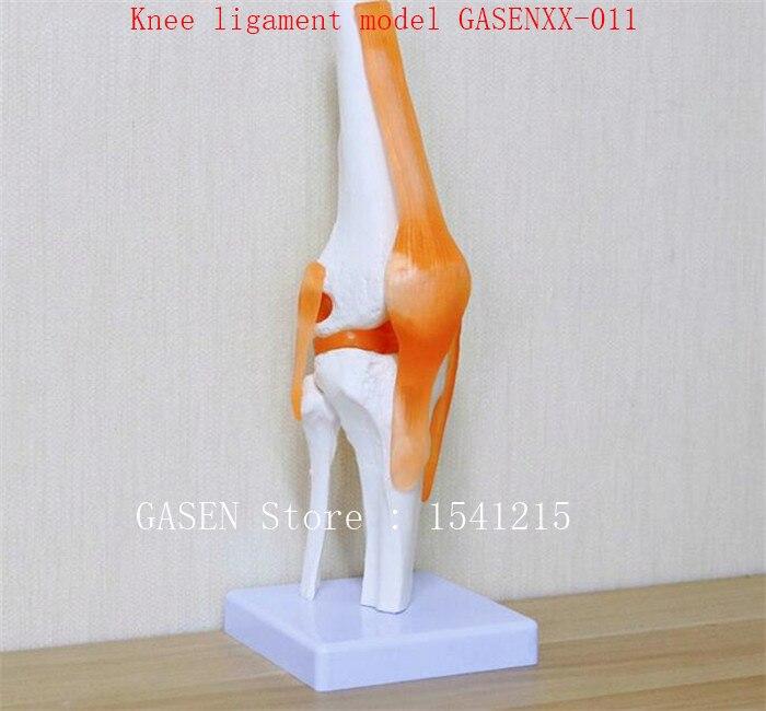 Knie modell orthopädie lehre Kann aktiv sein Knie knochen Knie ...