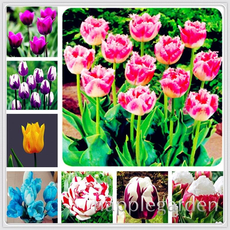 100 pcs Tulip flores Bonsai, Not Tulip Bulbs, Hydroponic Bonsai Flower Tulip bonsai,garden Decoration Bonsai Flower plants