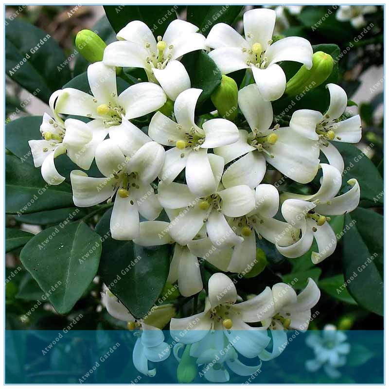 Zlking 50pcs Double Murraya Paniculata Orange Jessamine Evergreen Plant 50 Satinwood Lakeview Fragrant Flowers Bonsai