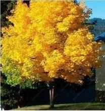 20 Семена желтый клен Live Seed Главная Сад Норвегии клен Золотой дерево Семена хорошее цена бонсай будет в ближайшее время