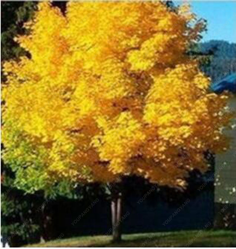 20 seeds yellow maple tree live seed Home Garden Norway maple gold tree seeds good bonsai price will up soon