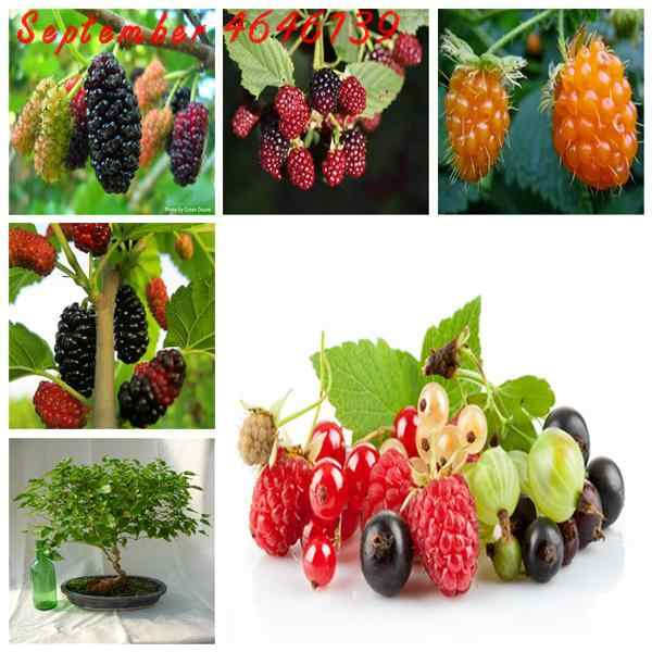 100 Pcs Dolce Bacca Nera Gigante More Heirloom Blackberry bonsai Triple Crown Blackberry Nero Gelso bacca di pianta in vaso