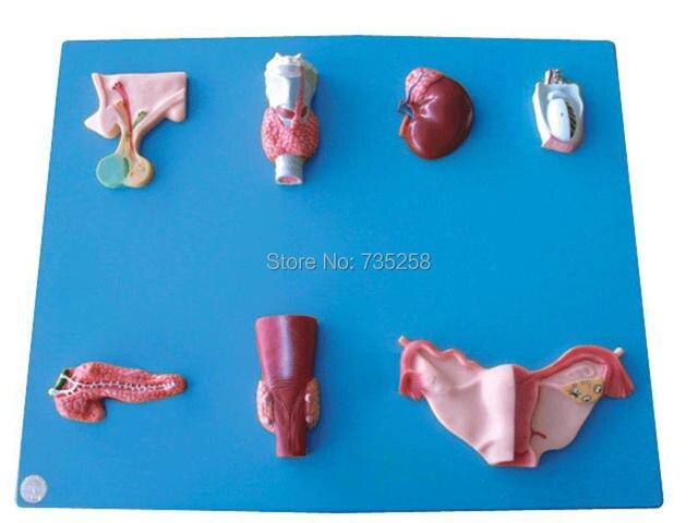 Endokrine Orgel Modell, Modell der Menschlichen Organe, Hypophyse ...