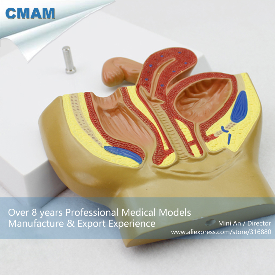 12458 CMAM ANATOMY20 Plastic Anatomy Female Pelvis Section Model ...