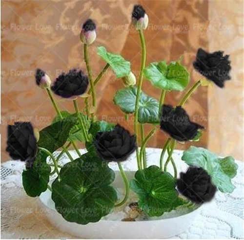 Detail Feedback Questions About 5pcs Bonsai Black Lotus Flower Bowl