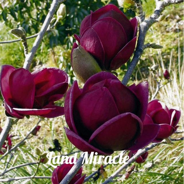 Deep Purple Magnolia Flower Seeds (100 Pieces)
