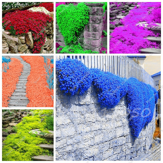 Rainbow Creeping Thyme Plants Blue Rock Cress Perennial Ground Cover Flower Natural Growth