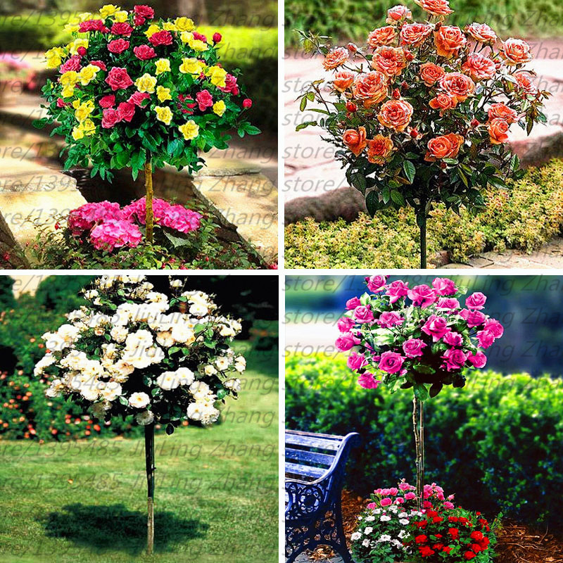 100pcs/bag Orange Rose tree Seeds fragrant flower seeds for home garden planting bonsai tree for home garden