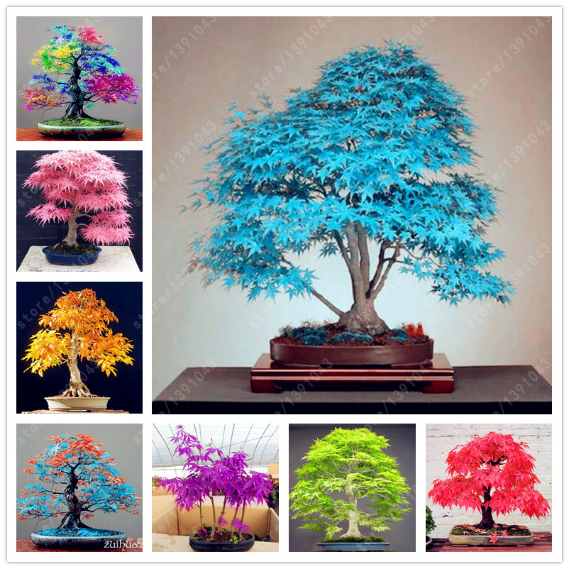 tree seeds 20 maple seeds bonsai blue maple tree japanese maple seeds Balcony plants for home garden