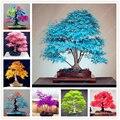 Semillas del árbol de arce 20 semillas bonsai de arce azul Balcón semillas de plantas para el jardín de su casa del árbol de arce japonés