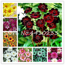 Buy Cosmos Flower Perennial And Get Free Shipping On Aliexpress