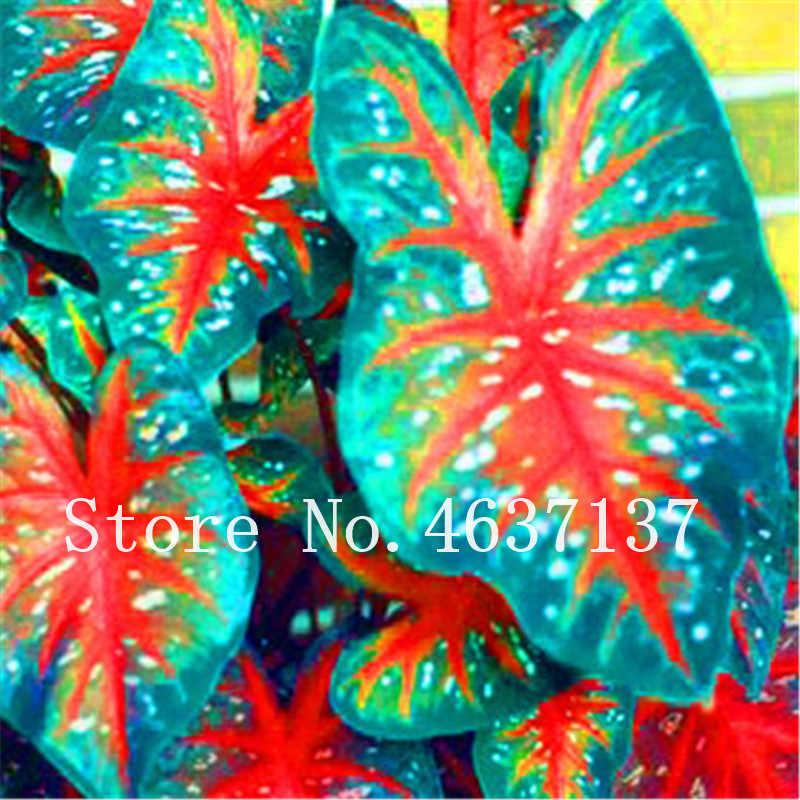 1 Bag = 100 قطعة الغريبة تايلاند Caladium Bicolor بونساي شرفة حرق الورد الفيل الأذن زهرة المعمرة الأعشاب النباتية المنزل والحديقة