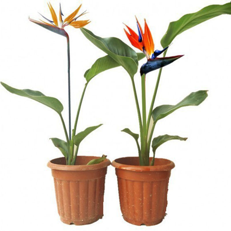 Hot Sale Rare Balcony Potted Flowers Strelitzia Seeds