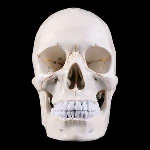 Image 2 - חיים גודל אדם גולגולת דגם האנטומיה אנטומיים רפואי הוראת שלד ראש לומד אספקת הוראה