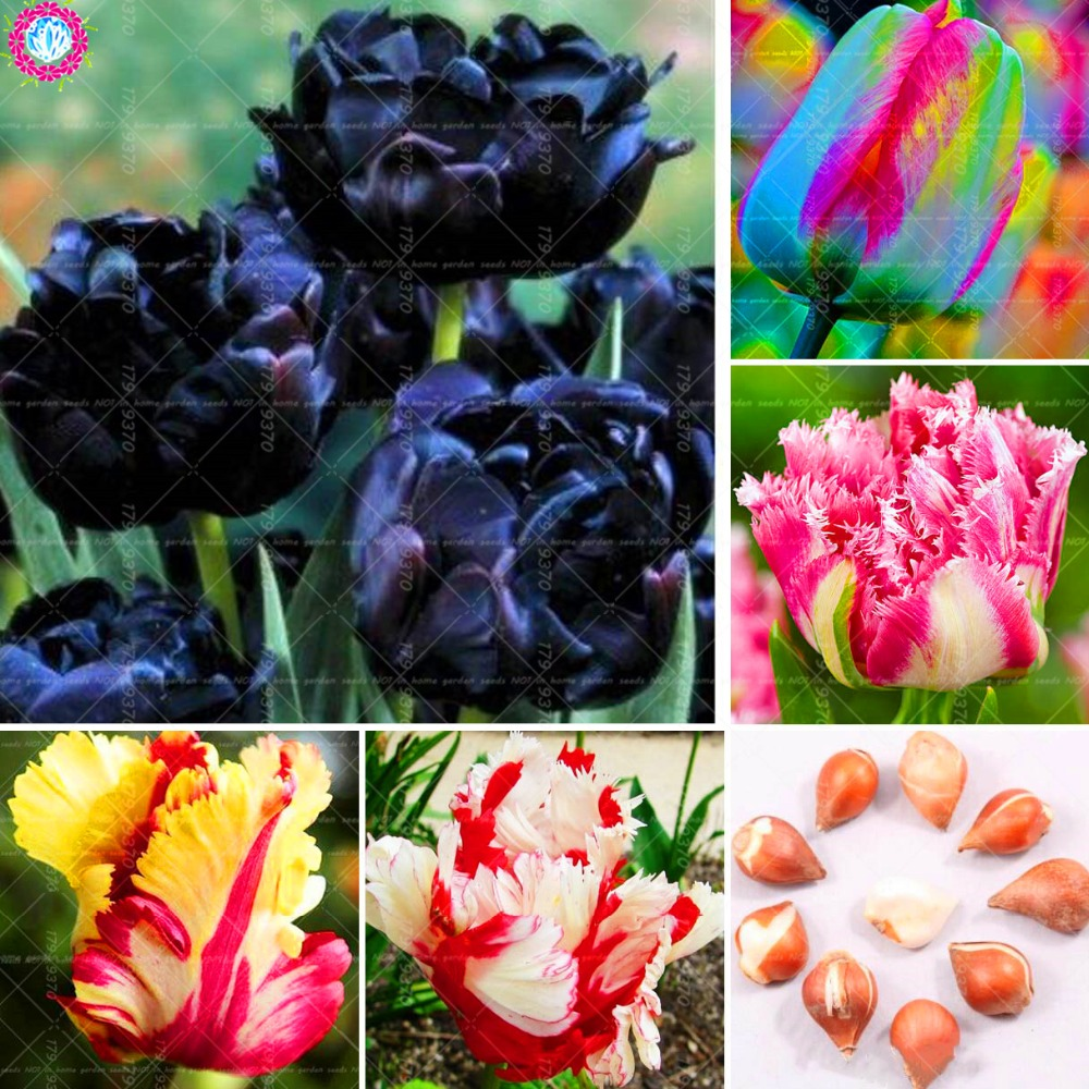 2PCS Black Tulip Bulbs Tulipa Gesneriana beautiful Rare Flower seeds,perennial Garden tulip,Didiers tulip For home garden plant