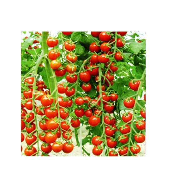 Big promotion 30pcs bag red pear tomato vegetable seeds tomato seed Bonsai Non GM organic font