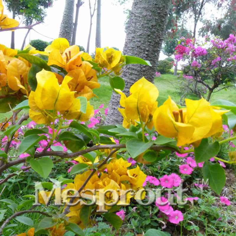 Batas Waktu! 100 Pcs Tanaman Baru Kuning Kembang Kertas Spectabilis Willd Tanaman Bonsai Kembang Kertas Bunga Bonsai Saya #007