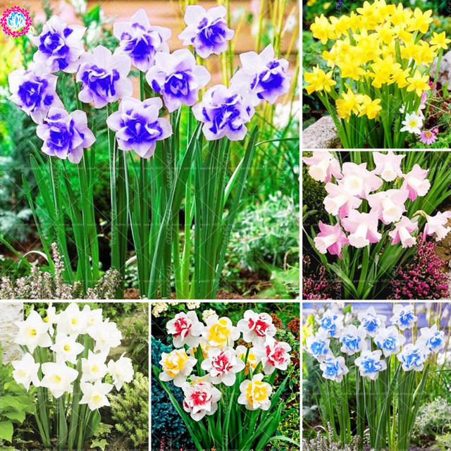 100pcs Bonsai Narcissus Potted Pink Daffodil Flower Perennial