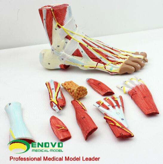 Hand-foot surgery on the model of muscle nerve vascular ligament in the foot joint of human foot foot model human foot palm muscle model arch foot model foot anatomy