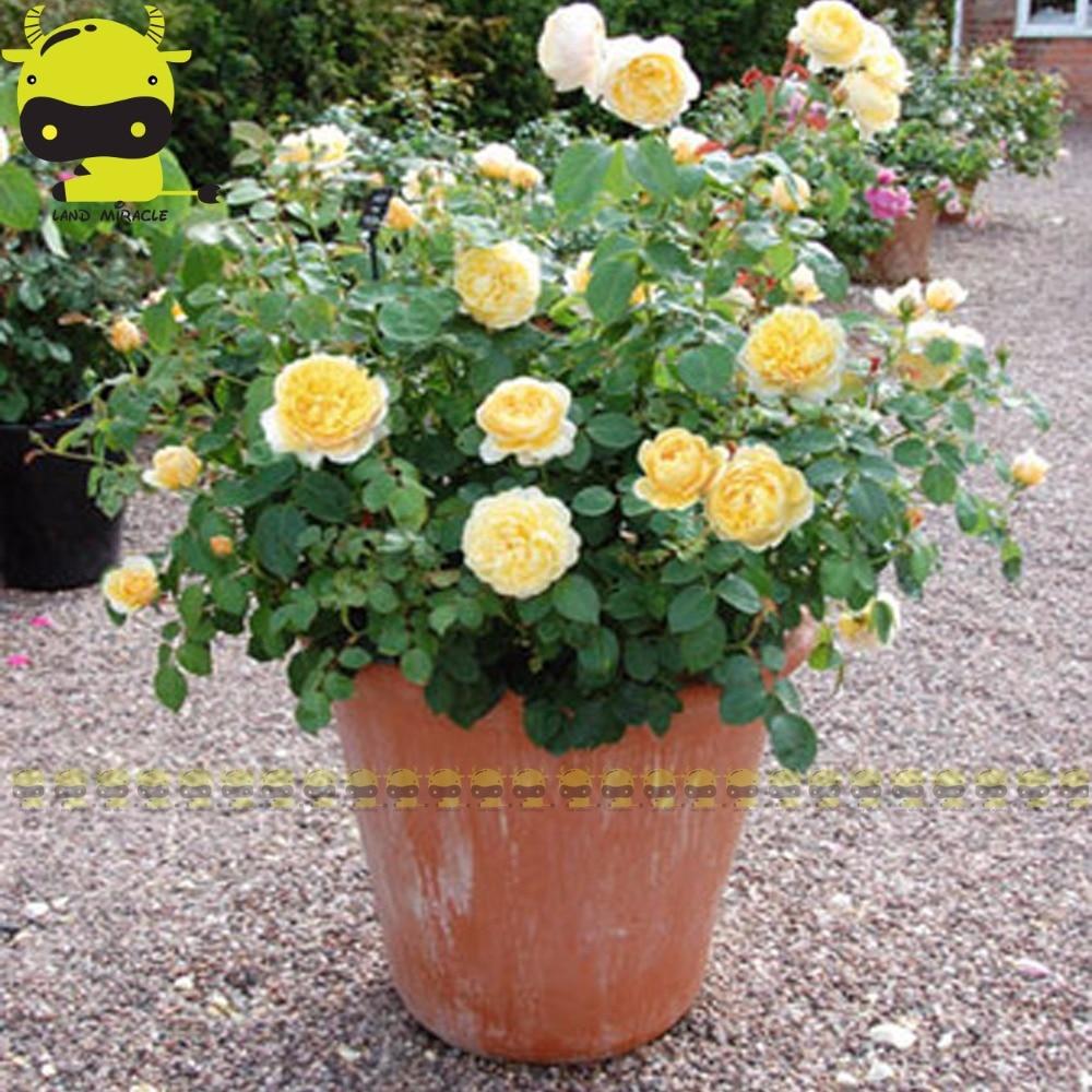 Online buy wholesale yellow flowered shrubs from china yellow fragrant yellow rose rosa bush shrub perennial flower seeds50 seedspack climbing dhlflorist Gallery