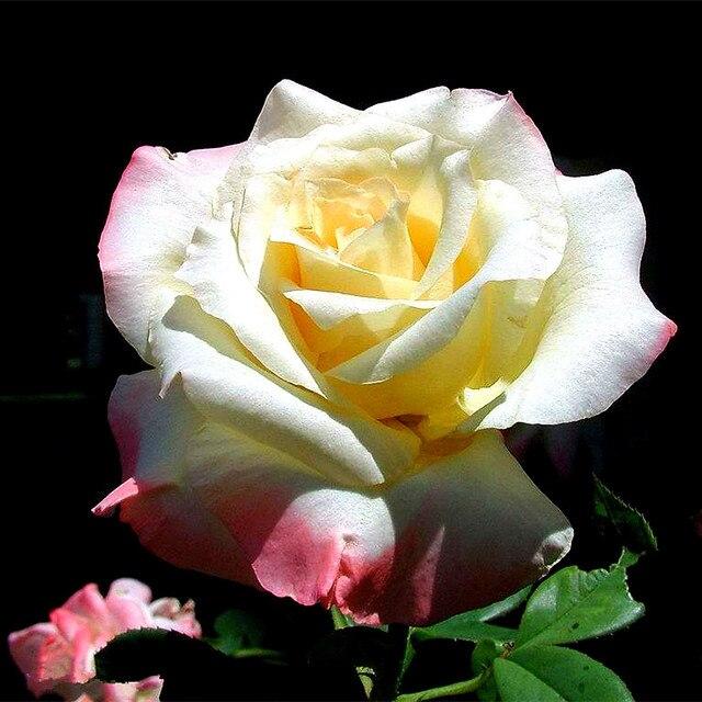 100 stücke Weiß Rosen Samen Duftenden Blumen und Topfpflanzen ...