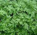 Nuevo Hogar Jardín de Plantas 100 Semillas Artemisia Annua Semillas-Un año de Artemisa Envío Gratis