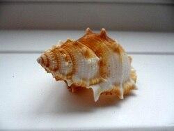 HappyKiss Аутентичные натуральные раковины большие плоские Шипы винт 4-7 см аквариум украшения реквизит для фотографии