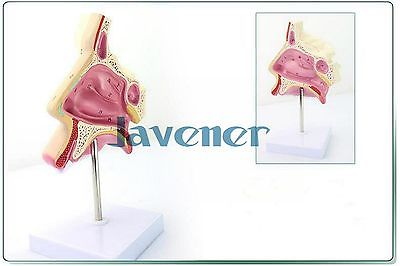 цена на Simulation Human Anatomical Nasal Cavity Anatomy Medical Model