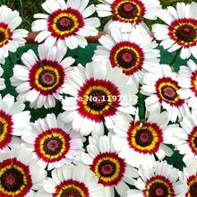 200 Pieces / Lot Water Color Daisy Seeds Lovely Rainbow Gardem Bonsai Daisies Natural Sprout DIY Garden Flowers Free Shipping