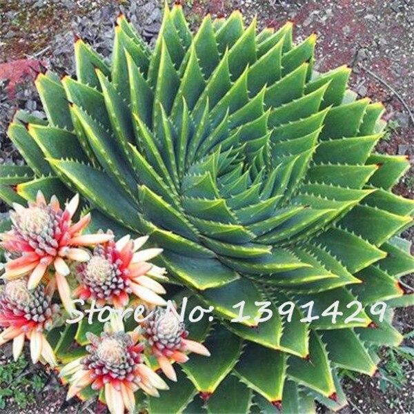 Aloe polyphylla acquista a poco prezzo aloe polyphylla for Piante a poco prezzo