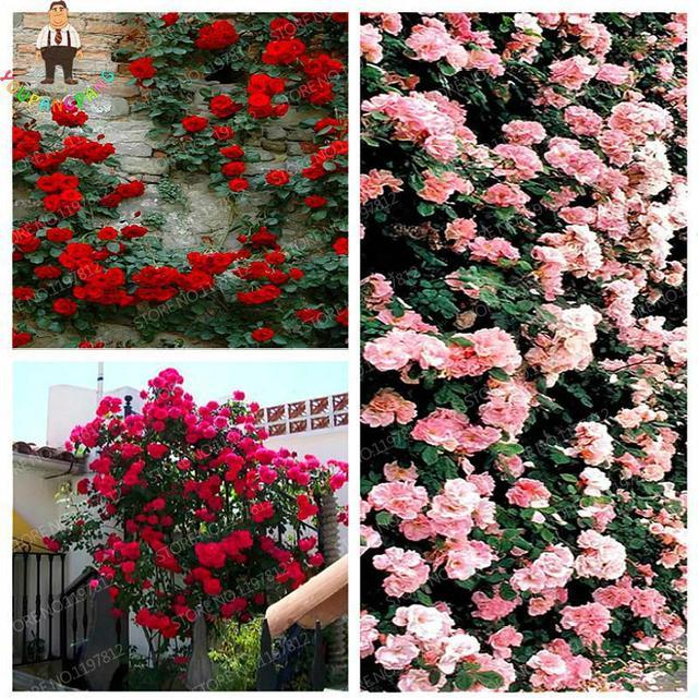 Top Selling High Quality Bonsai Climbing Rose bonsai For Home Garden Vampire Rose Flowers bonsai Backyard Jardin Semillas 100pcs