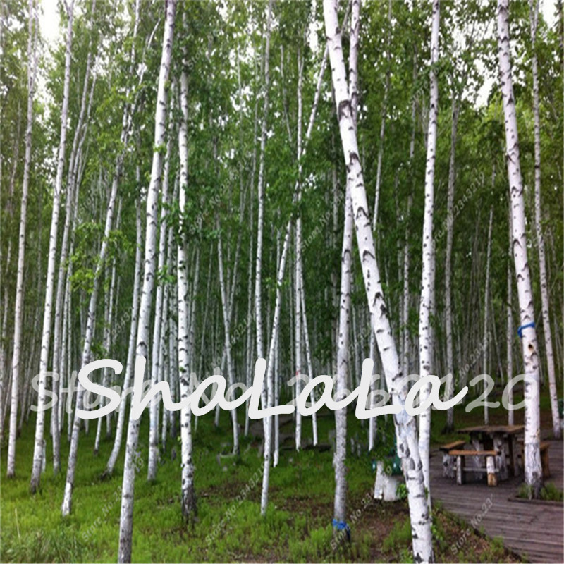 White birch tree seed betulaceae hardwood 100pcs pure bonsai for Birch wood cost
