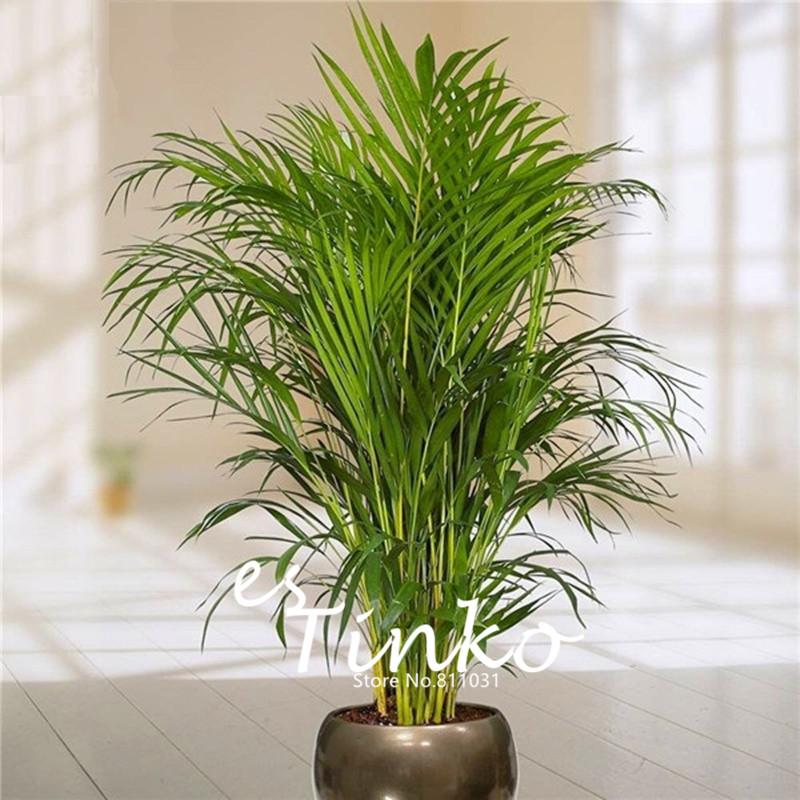 pcs bambou palm graines dame palm intrieur plantes rhapis excelsa bricolage maison jardin arbre graines
