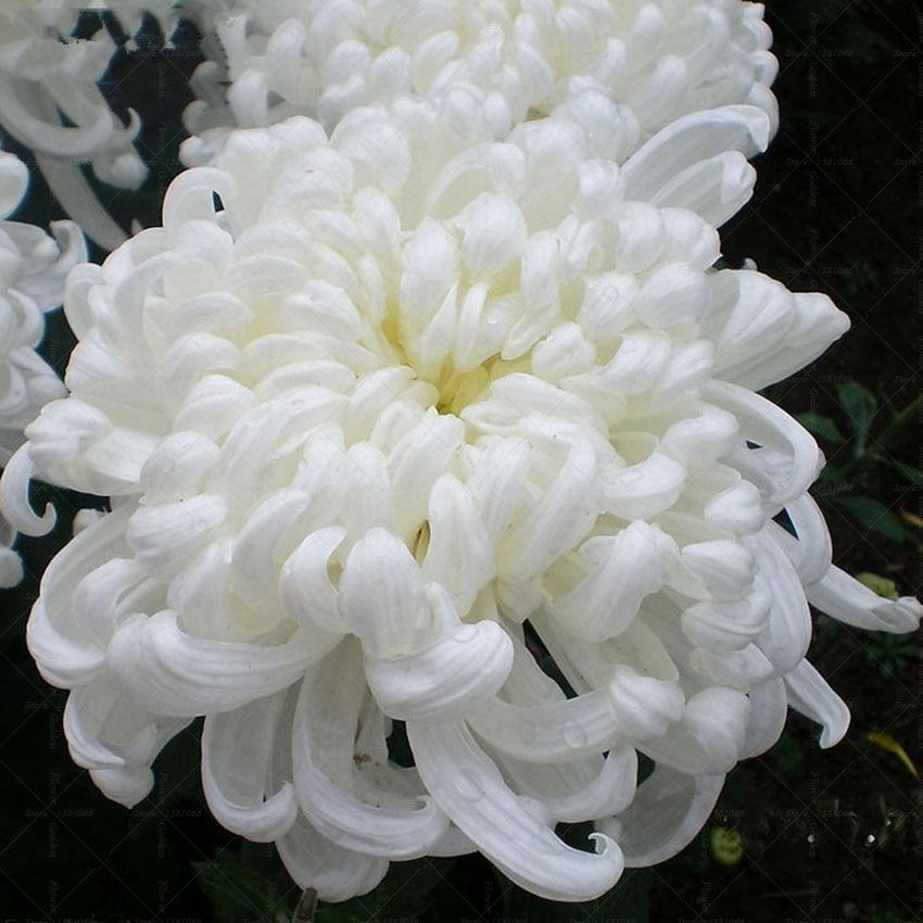 achetez en gros blanc fleur de chrysanthème en ligne à des