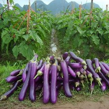 AAA 100pcs/pack.Free Shipping Purple Eggplant Seeds Vegetable seeds free shipping